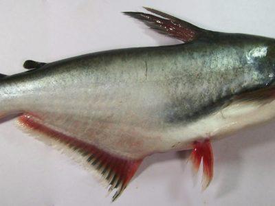 Qué es el panga, el pescado polémico